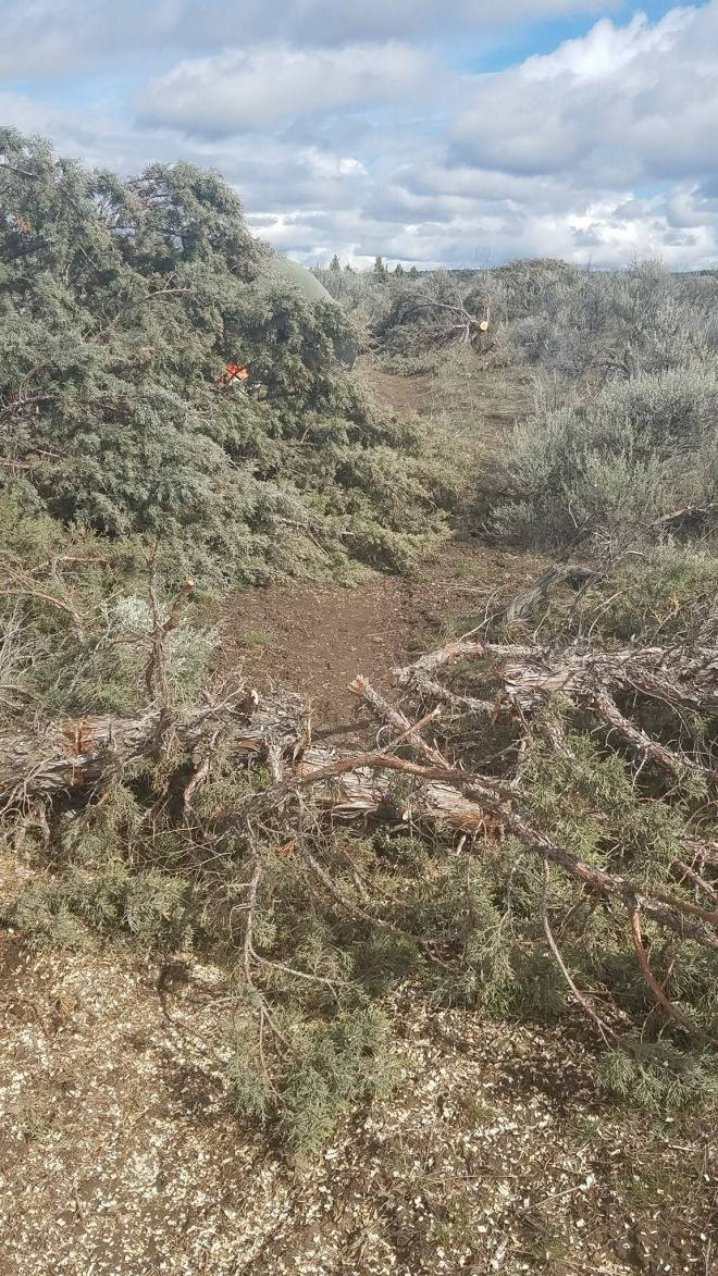 Downed juniper trees